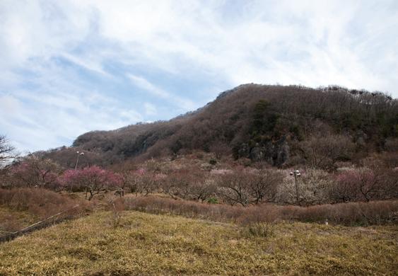 幕山の全景。手前は梅林で、うっすらと色づいていた。