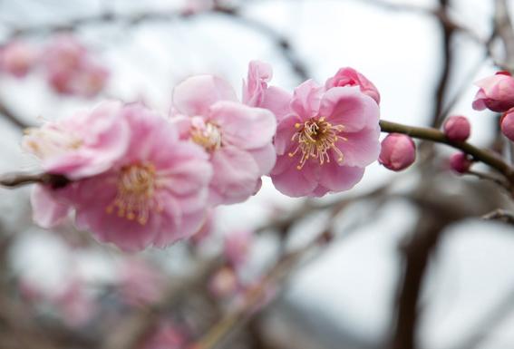 梅の見ごろは例年2月~3月中旬。約4000本の紅梅・白梅が咲き乱れる。